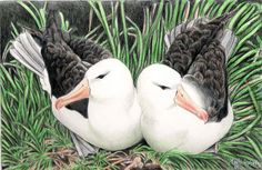 """Marie Lund Hoff  """"albatros"""""""