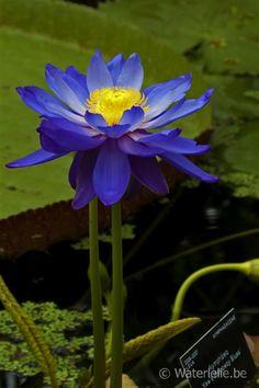 Nymphaea 'Kew's Stowaway Blues' Water Flowers, Water Plants, Water Lilies, Water Garden, Blue Lotus Flower, Blue Flowers, Lotus Flowers, Koi Art, Ornamental Plants