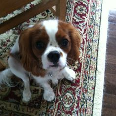 My neighbor's cavalier king Charles spaniel puppy Henry.