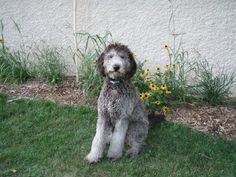 Grey / Silver Goldendoodle, such pretty coloring!