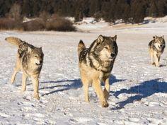 joe-mcdonald-gray-wolves-running-in-a-snowy-field-canis-lupus-wyoming-usa.jpg.cf.jpg 473×355 pixels