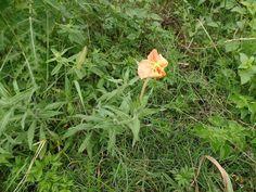Oenothera sp.