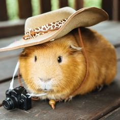 Remember to be sun smart on holiday! Hamsters, Cute Guinea Pigs, Cute Piggies, Nutter Butter, Cute Animals, Pets, Holiday, Pictures, Little Pigs