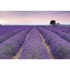 Fototapet Lavanda Provence un camp de lavanda inflorita care va aduce in caminul tau parfumul si aromele acestui peisaj. Comanda Fototapet Lavanda pe traget.ro.