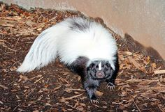 Have you ever thought about keeping a skunk as a pet? In fact, a skunk makes an excellent pet, of course, if you have their scent glands removed. However, you should be dedicated to the skunk, because they can't be released into the wild when their scent glands are removed. A pet skunk is easy to look after and this adorable animal requires little care. Skunks are playful and they can entertain themselves with different toys.