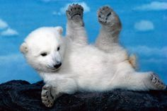 get rich,make my backyard refridgerated,buy a boy polar bear and repopulate!or just touchhh a polar bear? Baby Polar Bears, White Polar Bear, Cute Teddy Bears, Black Bear, Baby Animals Pictures, Bear Pictures, Cute Baby Animals, Wild Animals, Funny Animals