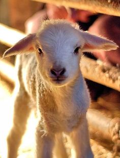 Google Image Result for http://images4.fanpop.com/image/photos/19800000/lamb-baby-sheep-baby-animals-19892342-380-500.jpg