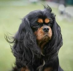 Absolutely magnificent black and tan Cavalier King Charles Spaniel - - photo by Kuvauksellista.com