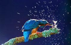 Der Eisvogel hat schon für einiges an Verwirrung unter den Menschen gesorgt. Schuld daran trägt auch der griechische Philosoph Aristoteles. Er beschrieb einst einen Vogel, der vom Aussehen her der Eisvogel gewesen sein muss. Diesen nannte er in Anlehnung an eine Figur der griechischen Mythologie Alcyon. Bei den Verhaltensweisen jedoch lag er daneben. Beispielsweise sollte der auf dem Wasser brüten und lebenslang seinem Partner treu sein – beides tut der Eisvogel nicht.  Knapp 1500 Jahre…