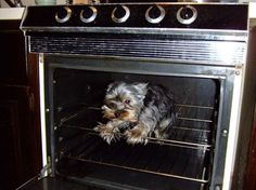 Yorkshire Terrier in Oven :)