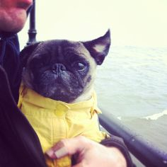 Mr. Pug is not impressed with this windy little boat trip