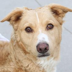 *VENUS - ID#A755579  Shelter staff named me VENUS.  I am a spayed female, tan and white German Shepherd Dog mix.  The shelter staff think I ...