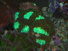 Bicolor-Blastomussa welsii
