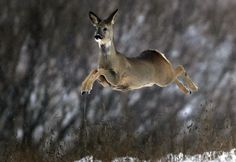 A deer runs in a snow-covered field near the village of Karpavichi, some 50 km (31 miles) north of Minsk, Belarus