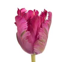 Dark Purple Parrot Tulip - Parrot Tulips - Tulips - Types of Flowers | Flower Muse