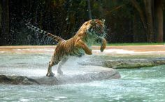 Tiger jump in the water wallpapers Big Cats, Cool Cats, Beautiful Cats, Animals Beautiful, Animals And Pets, Cute Animals, Wild Animals, Exotic Animals, Majestic Animals