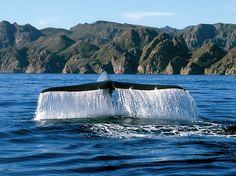 Blue whale, Loreto, Baja California Sur Want to go whale watching! Loreto Baja California Sur, Baja California Mexico, Wale, Animal Species, Blue Whale, Cabo San Lucas, Whale Watching, Mexico Travel, Ocean Life