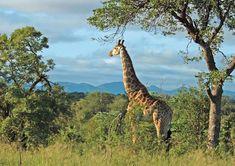Giraffe in the bushveld of Kruger National Park, South Africa