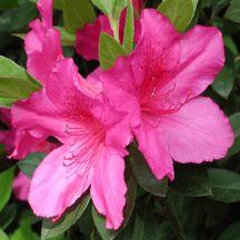 Judge Solomon Azalea: Flowering evergreen shrub. 4' to 6' H&W. Bright pink/purple blooms in spring.  Prefer full sun to light shade.
