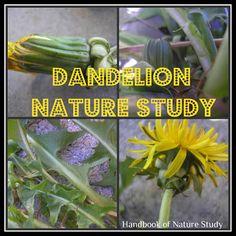 Handbook of Nature Study: OHC Spring Series #4: Wildflowers-Dandelions