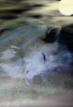 Sleeping Wolf by nenderie.deviantart.com on @DeviantArt