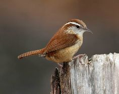 The Carolina wren(Thryothorus ludovicianus) is a common species of wren that is a resident in the eastern half of the United States, the extreme south of Ontario, Canada and the extreme northeast of Mexico.
