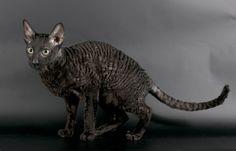 0 Image, Image Notes, Image Title, Media Images, Any Images, Cornish Rex, Delete Image, Sphynx Cat, Image Sharing