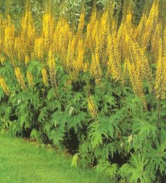 """Ligularia przewalskii, or """"Dragon Wings.""""  In China, known as a medicinal plant. Their roots contain thirteen compounds, some with antibacterial activity"""