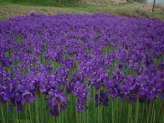 江戸紫(えどむらさき)