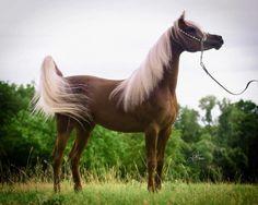 KA Damascus 2008 Liver Chestnut Straight Egyptian Stallion with flaxen mane Arabian Stallions, Andalusian Horse, Friesian Horse, Palomino, Beautiful Arabian Horses, Majestic Horse, Pretty Horses, Most Beautiful Animals, Beautiful Creatures