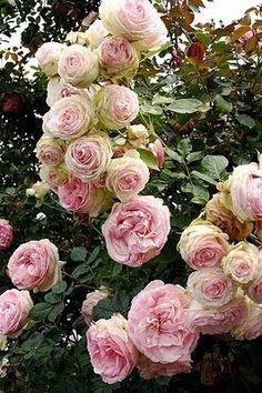 cabbage roses - rosa centrifolia