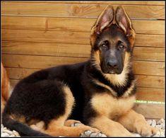 German Shepherd...ah I remember when my puppy's ears stood this close together! #germanshepherd