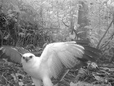 Leucopternis albicollis: White hawk   Yasuni National Park and Biosphere Reserve, Ecuador