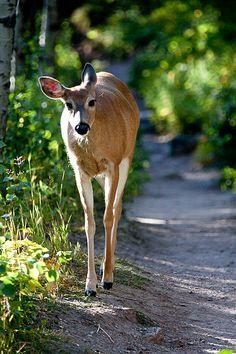 Doe a deer a female deer Animals Beautiful, Cute Animals, Deer Family, Mule Deer, Lovely Creatures, Oh Deer, Walk In The Woods, Reno, Deer Hunting