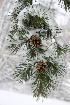 """Maine's State """"Flower"""" Pine Cone and Tassel #winter"""