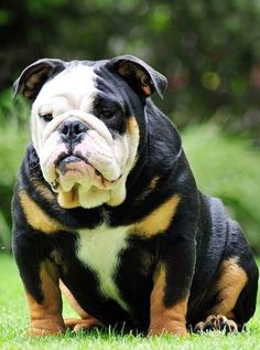 English Bulldog.... #Relax more with healing sounds: