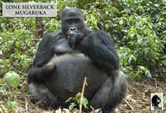 Grauer's gorilla lone silverback Mugaruka missing a hand from a snare in Kahuzi Biega National Park, DRC.