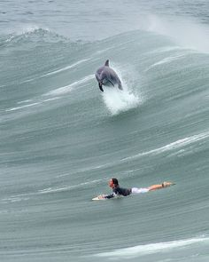 Great photo of a dolphin surfing with surfer. This is a fave pic of a dolphin jumping from a wave in the surf break with a surfer. No Wave, Big Waves, Ocean Waves, Ocean Beach, Nature Living, Surf Mar, Wind Surf, Cool Pictures, Cool Photos