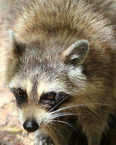 ˚Neighborhood Thief, Raccoon