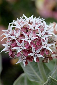 """Asclepias speciosa 'Davis' """"Davis Milkweed""""Undeniably gorgeous in leaf & bloom, everyone who can should grow our native perennial """"Showy Milkweeds"""" as they are a host for western Monarch butterflies. Love Flowers, Beautiful Flowers, Wedding Flowers, Butterfly Plants, Butterfly Weed, Butterflies, Monarch Butterfly, Swamp Milkweed, Cactus"""