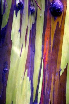 """""""Rainbow"""" Eucalyptus Deglupta is true to its name."""