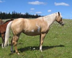 """APHA mare for sale in the Cariboo region, BC - $2,500.  """"Bee"""" is a 2004 APHA Palomino Overo mare. Bee is a consistent producer of big athletic all purpose horses. Her foals are now in training, and hitting the rodeo arena, in barrels and roping, as well as pleasure riding horses."""