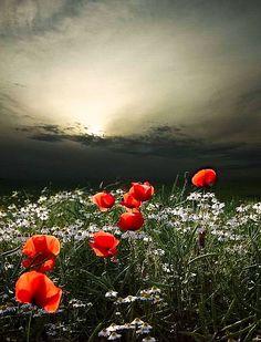 ✯ Poppies