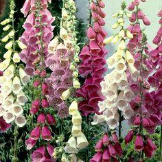 Kellosormustinkukka mix - Viherpeukalot Spikes, Perennials, Beautiful Flowers, Flora, Farmhouse, Scene, Seasons, Spring, Garden