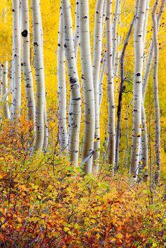 Aspens in autumn on Ohio Pass near Crested Butte, Gunnison National Forest, Colorado. Photo: Adam Schallau
