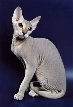 The Peterbald is a hairless cat breed that hails from Russia, and has only relatively recently become recognised as a breed in its own right.