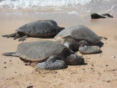 Laniakea Beach....home to the green turtles. North Shore, Oahu.
