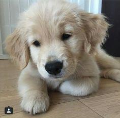 Another golden cutie
