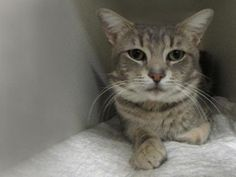 ******BUDDY NEEDS A NEW BUDDY-BE HIS HERO! Buddy is a young sweet kitty who came into the shelter with 4 puncture wounds on his upper left leg that appeared to be marks from cat bites. He will need a placement in a home/foster/boarding/vet where he can be monitored for 6 months before being adopted/neutered…He is a darling year and a half year old boy with a great behavior rating. He has managed to avoid the at-risk list for nearly a month—probably due to his good loo...