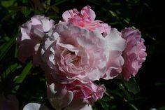 Rosario – ruusu | Vesan viherpiperryskuvat – puutarha kukkii